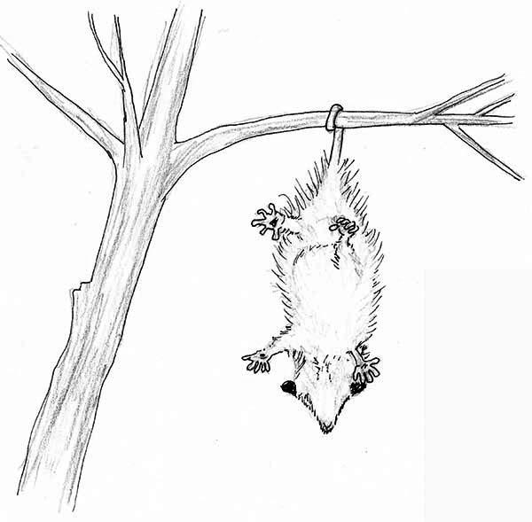 Cute Little Possum Coloring Page | Color Luna