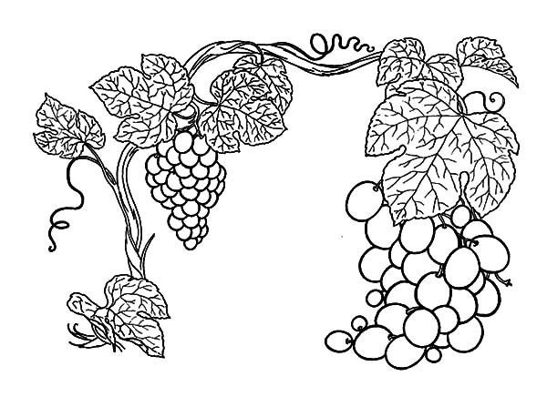 phil eating grapes coloring page wecoloringpage. and white ...